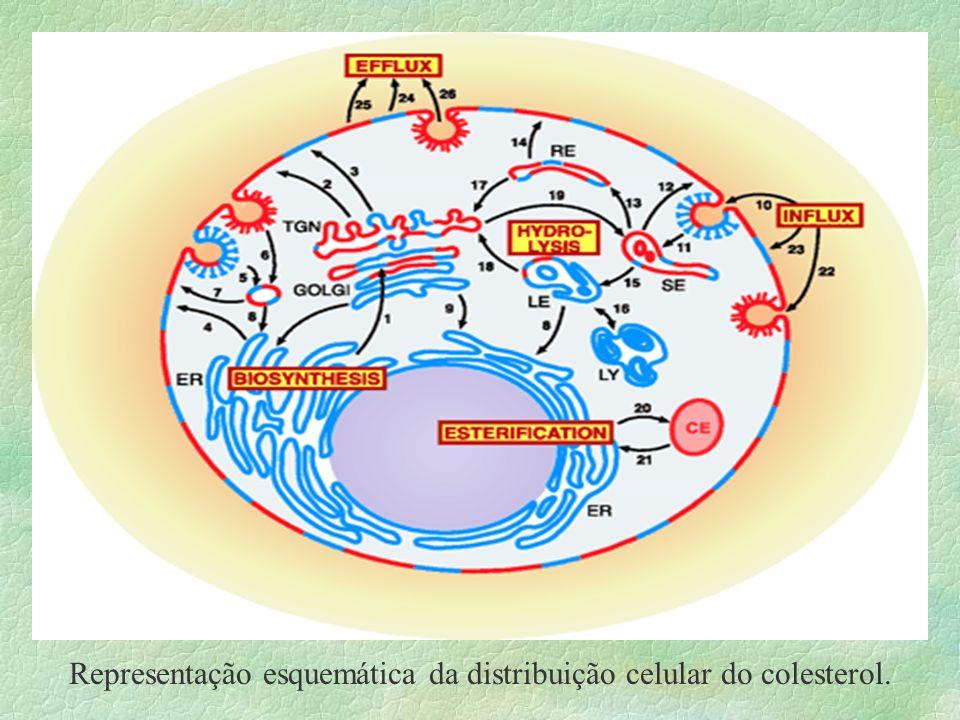 Representação esquemática da distribuição celular do colesterol.