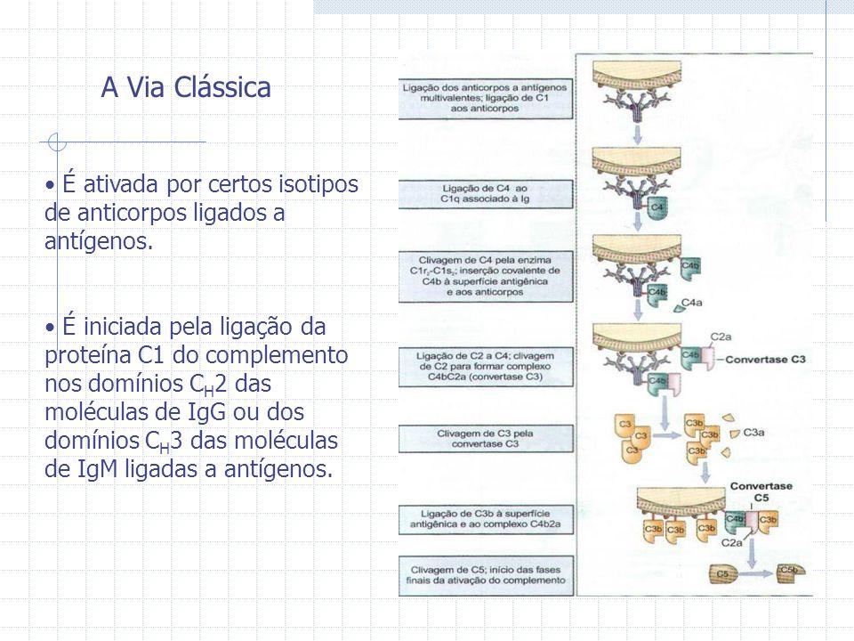 A Via Clássica É ativada por certos isotipos de anticorpos ligados a antígenos.