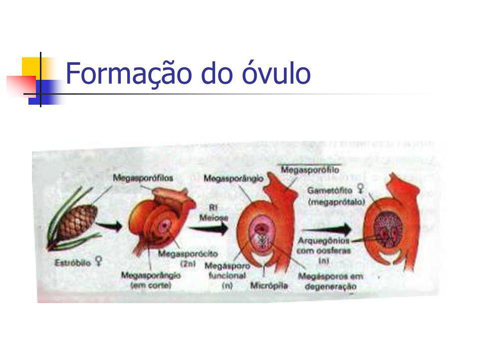 Formação do óvulo