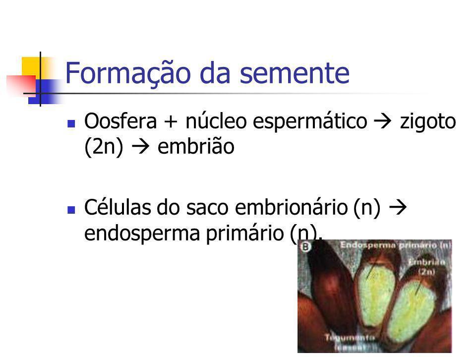 Formação da sementeOosfera + núcleo espermático  zigoto (2n)  embrião.