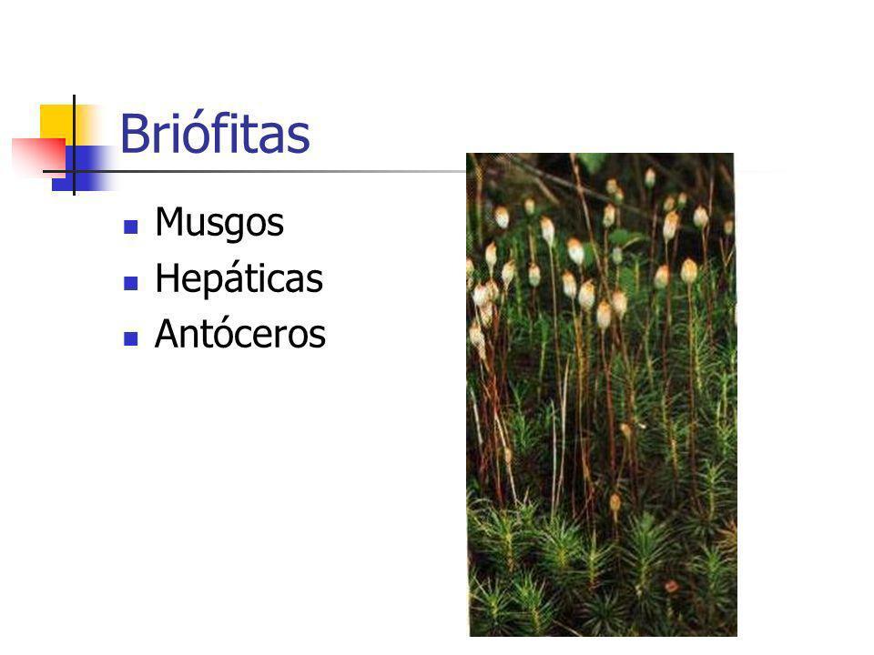 Briófitas Musgos Hepáticas Antóceros