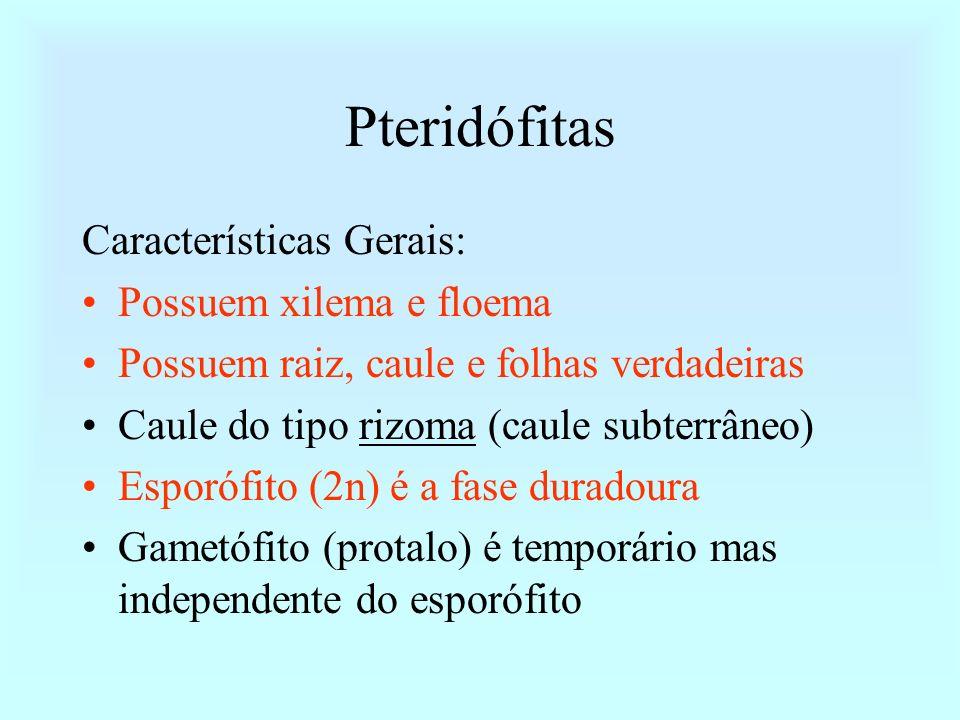Pteridófitas Características Gerais: Possuem xilema e floema