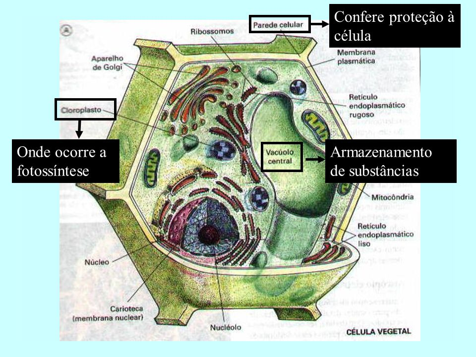 Confere proteção à célula