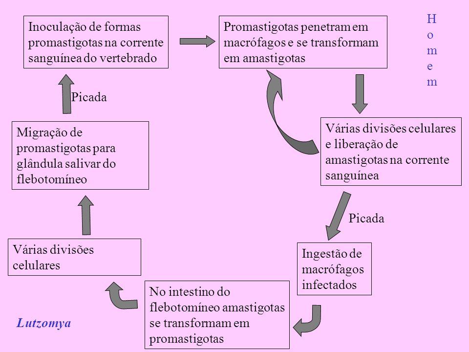 Homem Inoculação de formas promastigotas na corrente sanguínea do vertebrado. Promastigotas penetram em macrófagos e se transformam em amastigotas.