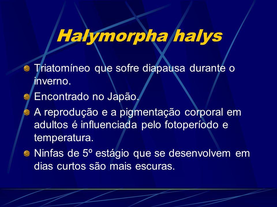 Halymorpha halys Triatomíneo que sofre diapausa durante o inverno.