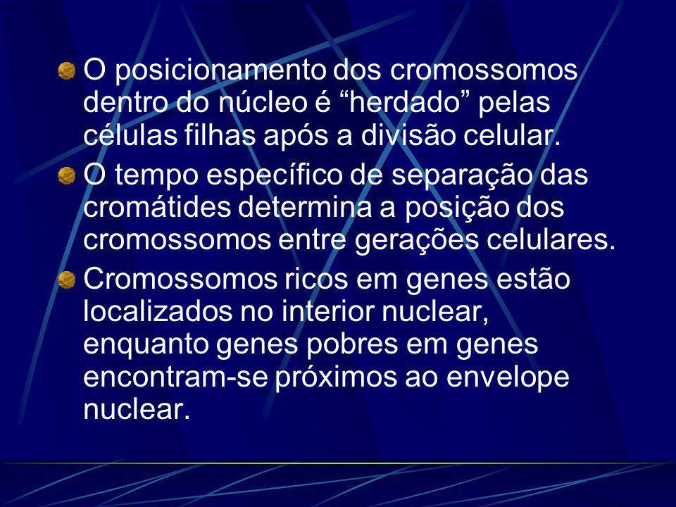 O posicionamento dos cromossomos dentro do núcleo é herdado pelas células filhas após a divisão celular.