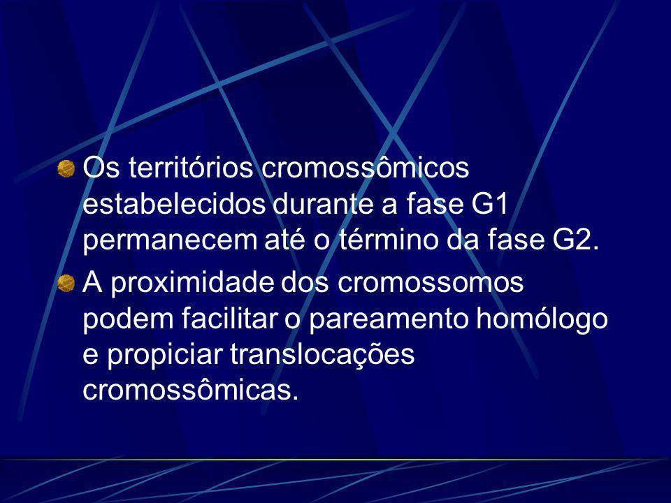 Os territórios cromossômicos estabelecidos durante a fase G1 permanecem até o término da fase G2.
