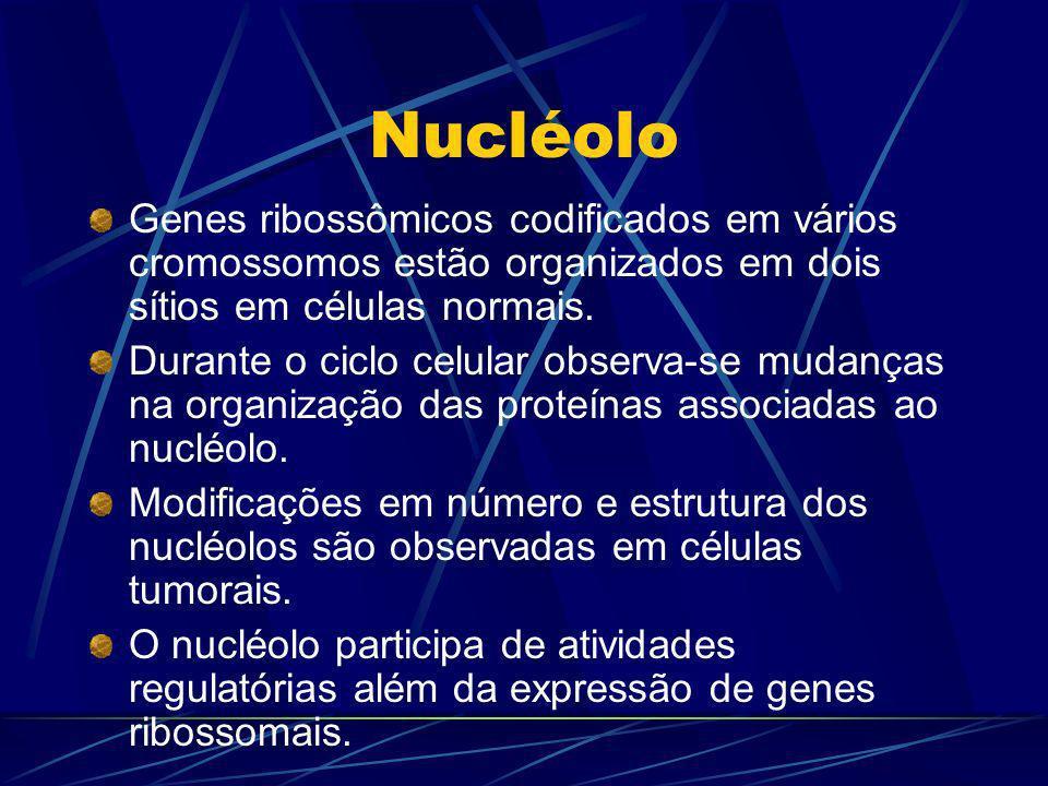 Nucléolo Genes ribossômicos codificados em vários cromossomos estão organizados em dois sítios em células normais.
