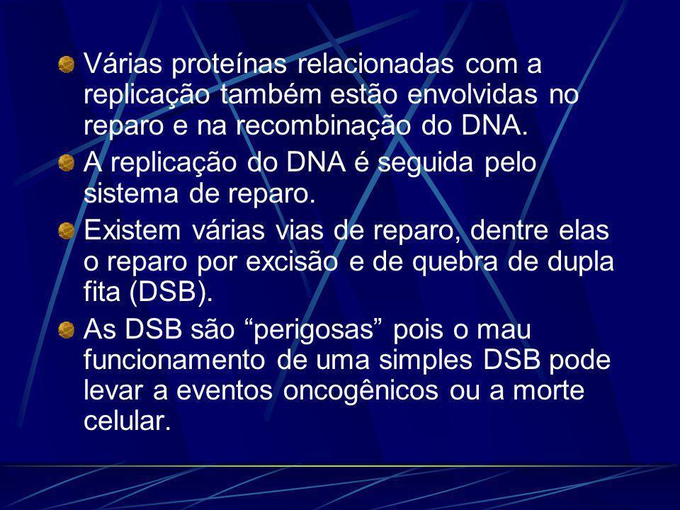 Várias proteínas relacionadas com a replicação também estão envolvidas no reparo e na recombinação do DNA.