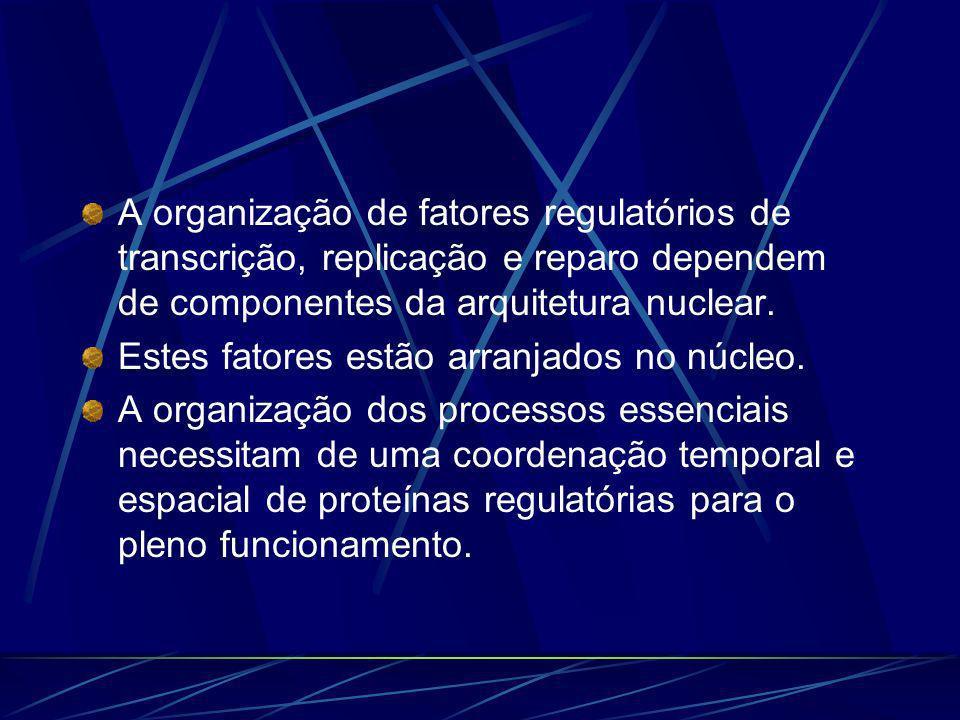 A organização de fatores regulatórios de transcrição, replicação e reparo dependem de componentes da arquitetura nuclear.