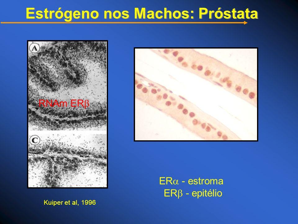 Estrógeno nos Machos: Próstata