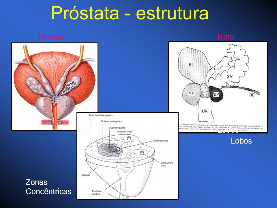 Próstata - estrutura Homem Rato Lobos Lobos Zonas Concêntricas