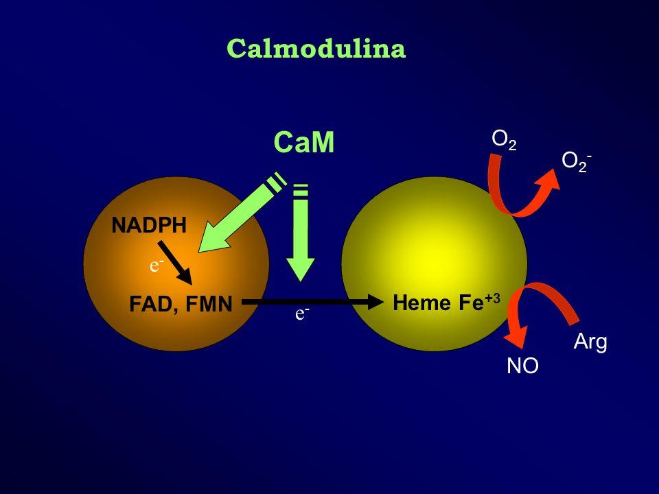 Calmodulina CaM O2 O2- NADPH FAD, FMN e- Heme Fe+3 e- Arg NO