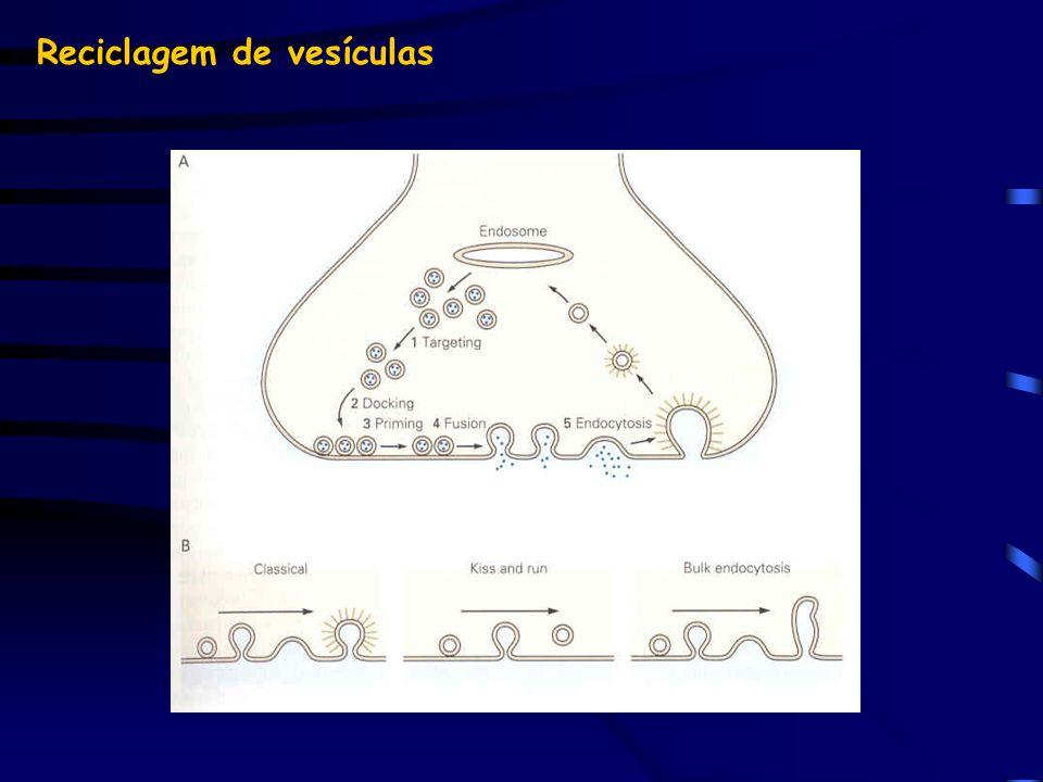 Reciclagem de vesículas