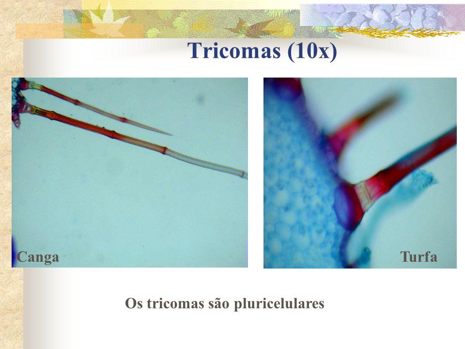 Tricomas (10x) Canga Turfa Os tricomas são pluricelulares