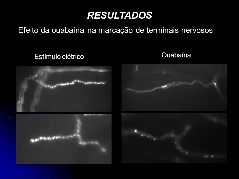 Efeito da ouabaína na marcação de terminais nervosos