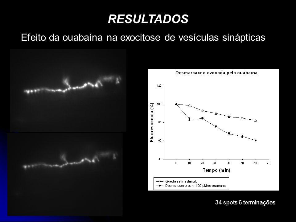Efeito da ouabaína na exocitose de vesículas sinápticas