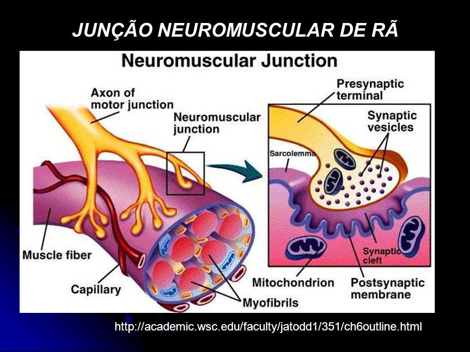 JUNÇÃO NEUROMUSCULAR DE RÃ