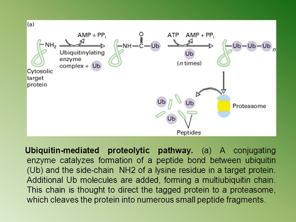 Ubiquitin-mediated proteolytic pathway