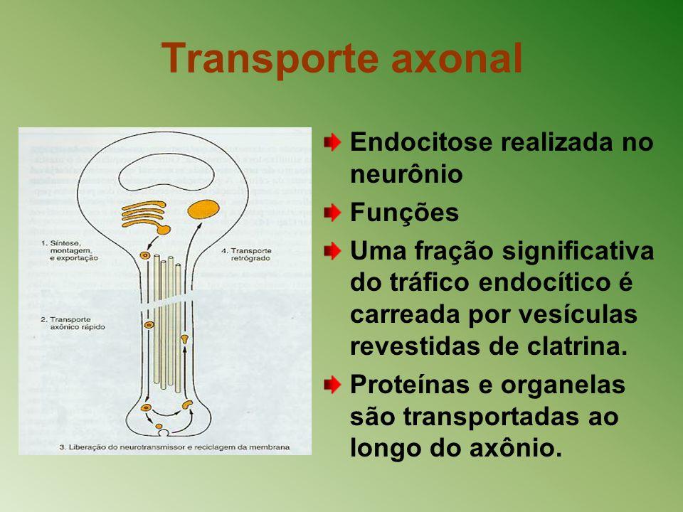 Transporte axonal Endocitose realizada no neurônio Funções