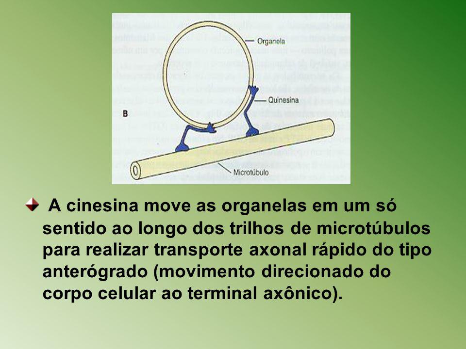 A cinesina move as organelas em um só sentido ao longo dos trilhos de microtúbulos para realizar transporte axonal rápido do tipo anterógrado (movimento direcionado do corpo celular ao terminal axônico).