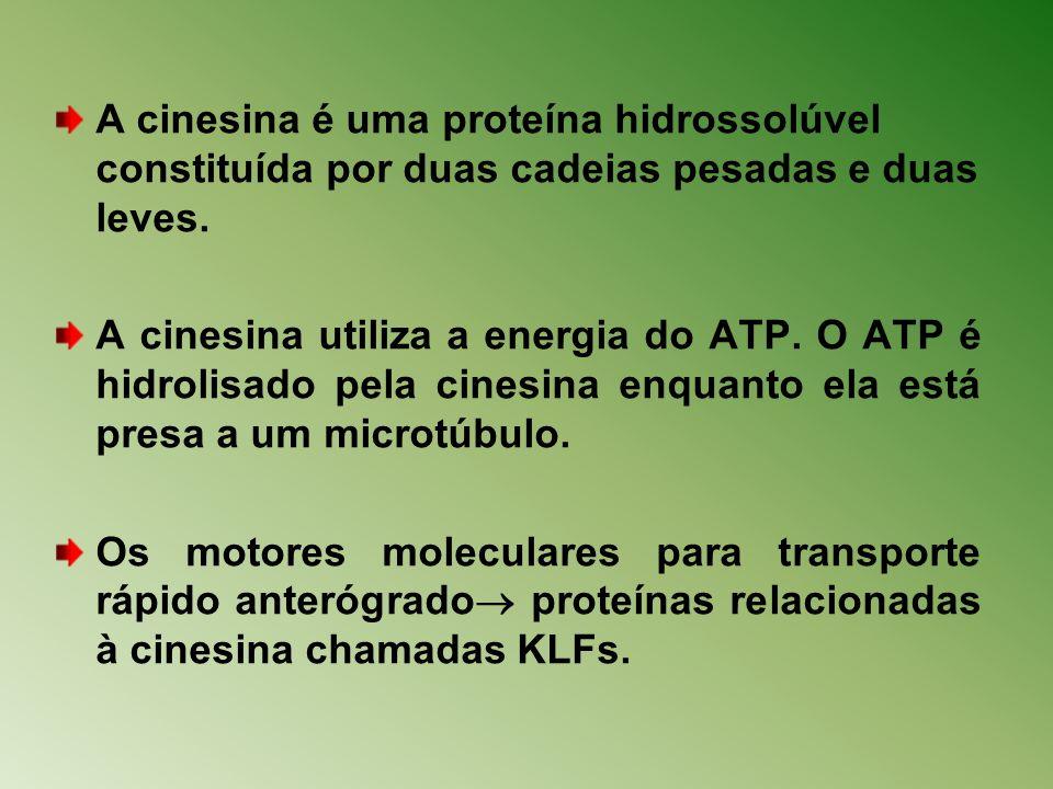 A cinesina é uma proteína hidrossolúvel constituída por duas cadeias pesadas e duas leves.