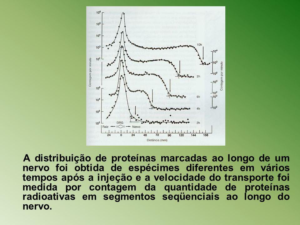 A distribuição de proteínas marcadas ao longo de um nervo foi obtida de espécimes diferentes em vários tempos após a injeção e a velocidade do transporte foi medida por contagem da quantidade de proteínas radioativas em segmentos seqüenciais ao longo do nervo.