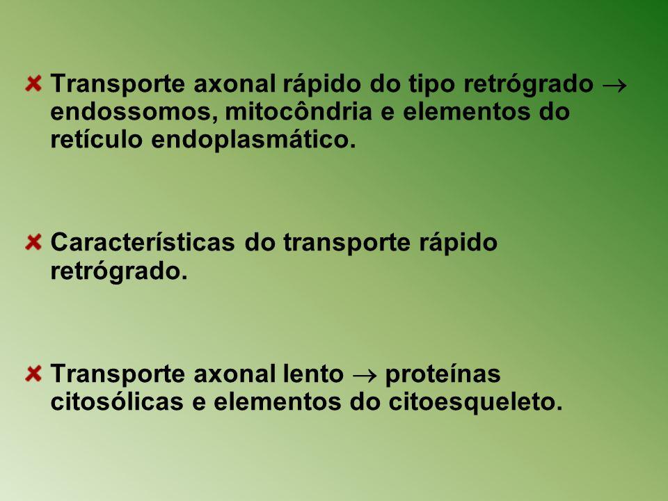 Transporte axonal rápido do tipo retrógrado  endossomos, mitocôndria e elementos do retículo endoplasmático.