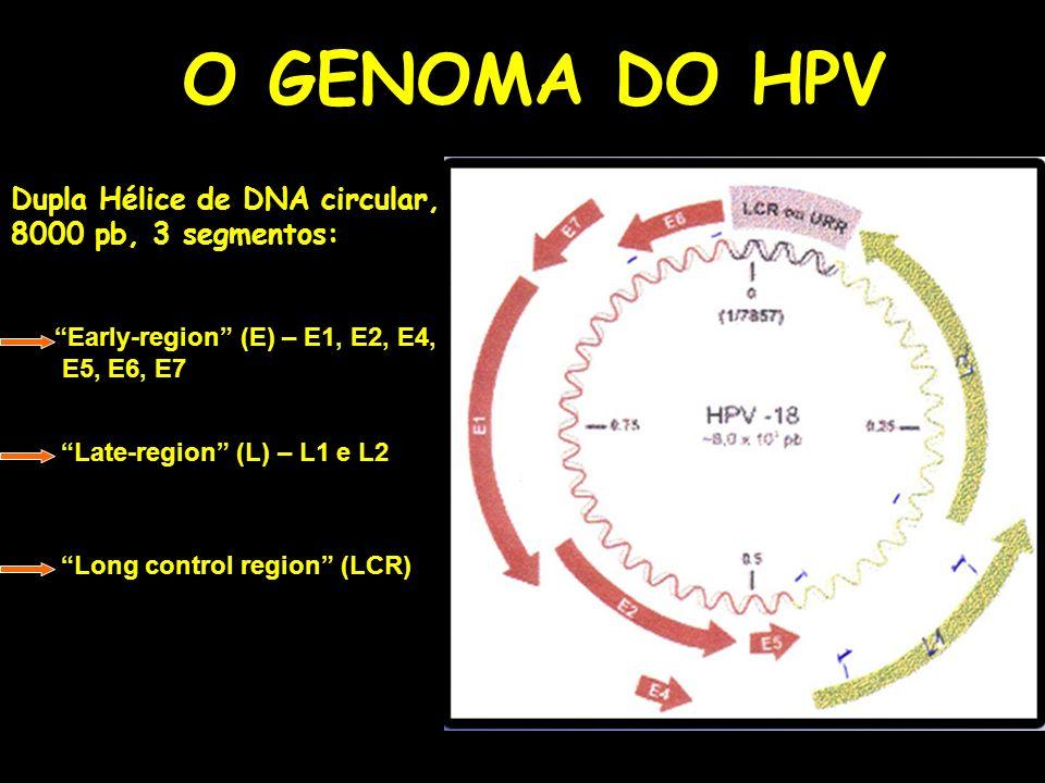 O GENOMA DO HPV Dupla Hélice de DNA circular, 8000 pb, 3 segmentos: