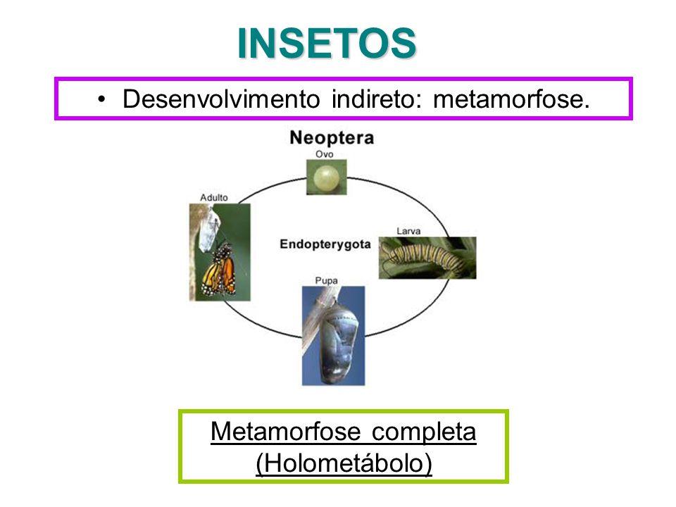 INSETOS Desenvolvimento indireto: metamorfose.