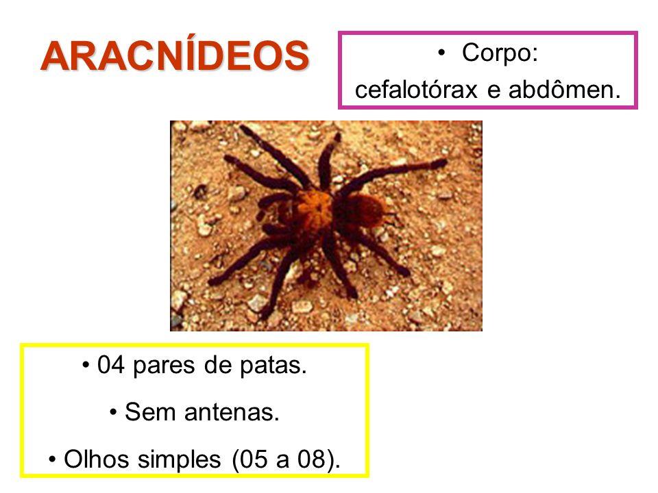 ARACNÍDEOS Corpo: cefalotórax e abdômen. 04 pares de patas.