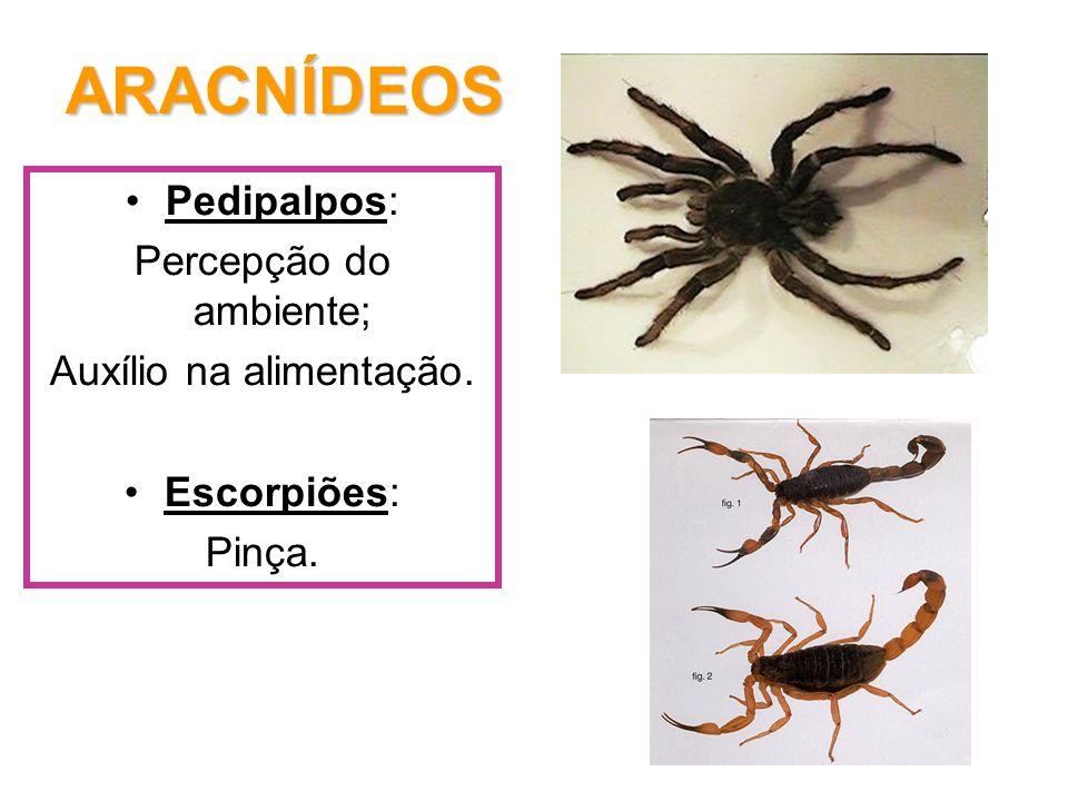 ARACNÍDEOS Pedipalpos: Percepção do ambiente; Auxílio na alimentação.