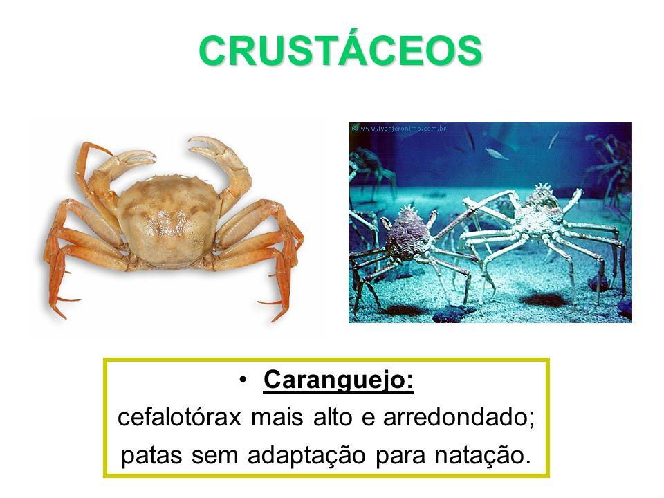 CRUSTÁCEOS Caranguejo: cefalotórax mais alto e arredondado;