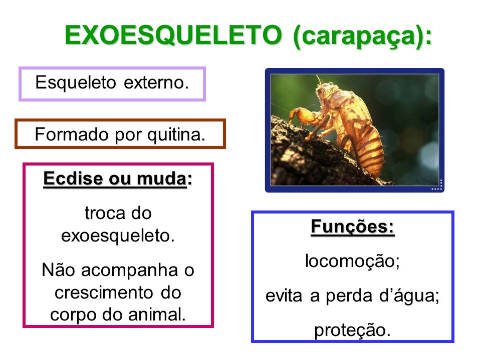 EXOESQUELETO (carapaça):