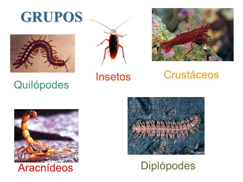 GRUPOS Crustáceos Insetos Quilópodes Diplópodes Aracnídeos