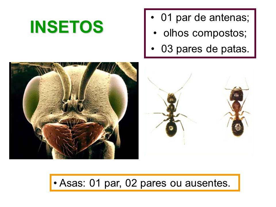 INSETOS 01 par de antenas; olhos compostos; 03 pares de patas.