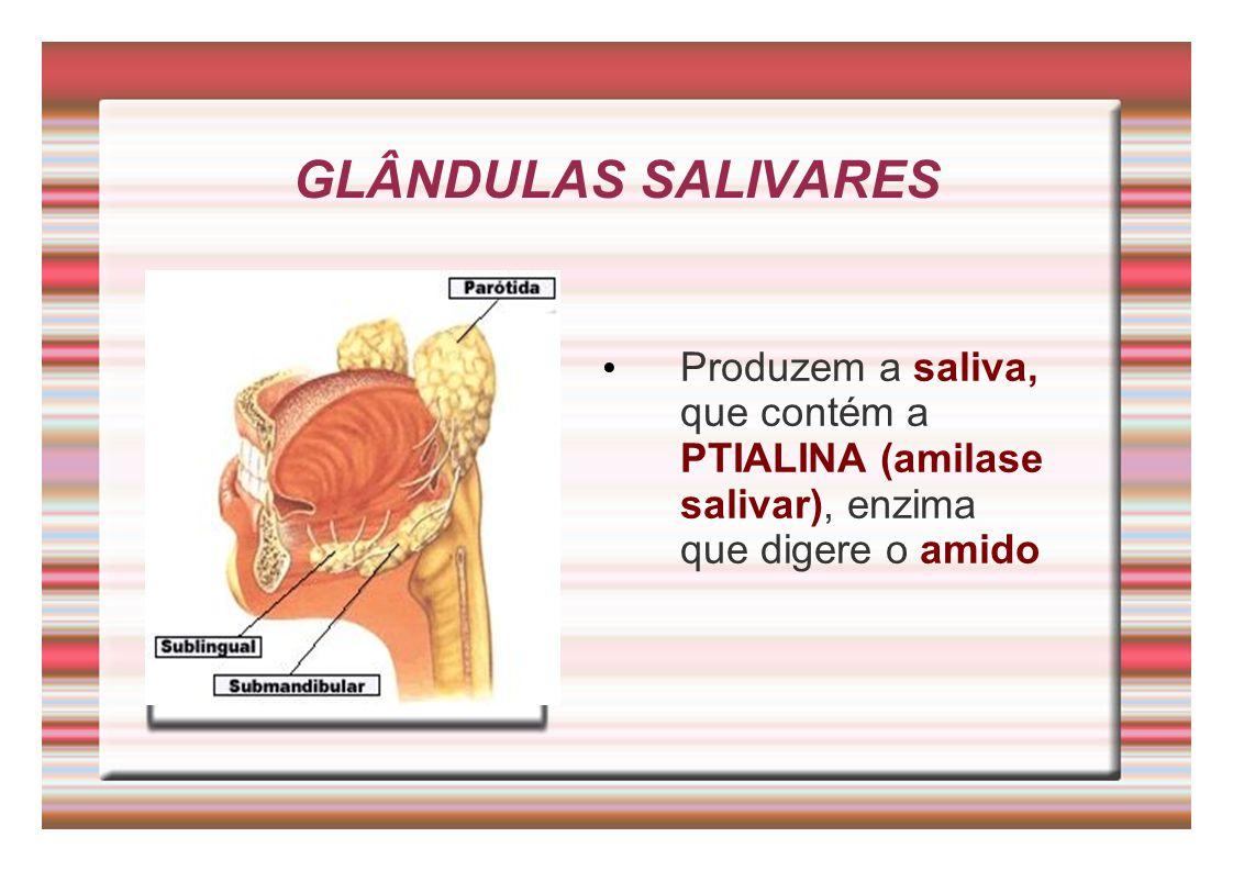 GLÂNDULAS SALIVARES Produzem a saliva, que contém a PTIALINA (amilase salivar), enzima que digere o amido.