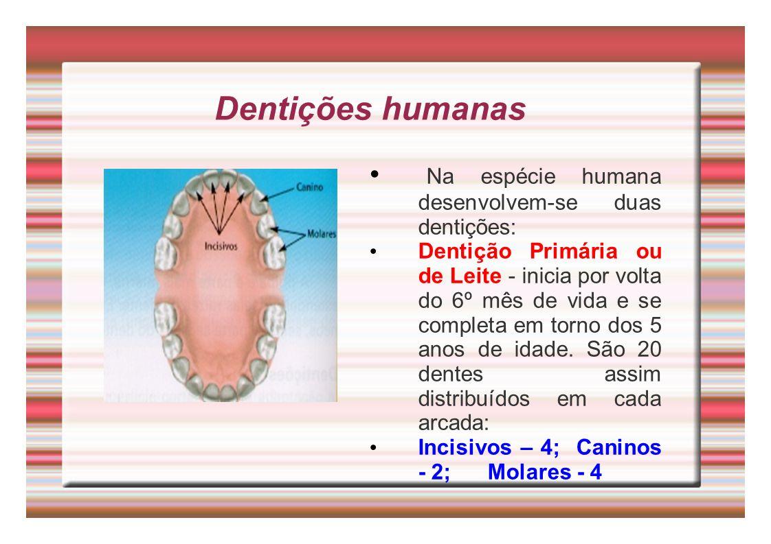 Dentições humanas Na espécie humana desenvolvem-se duas dentições: