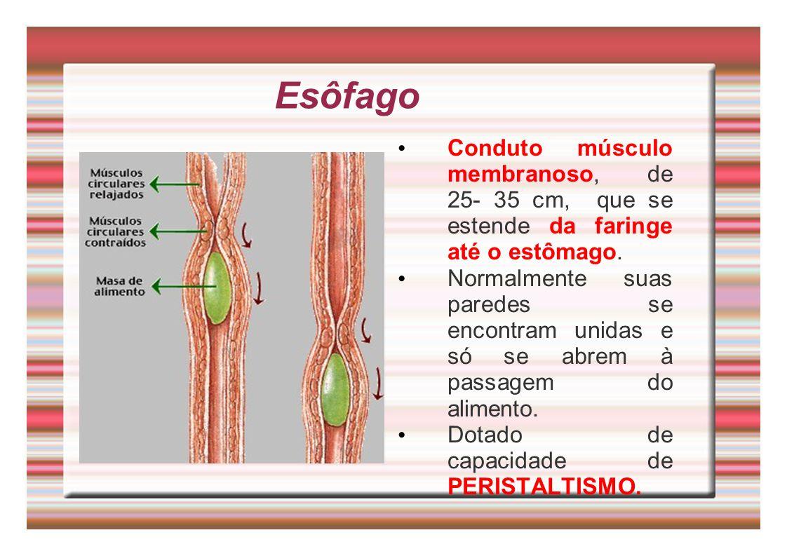 Esôfago Conduto músculo membranoso, de 25- 35 cm, que se estende da faringe até o estômago.