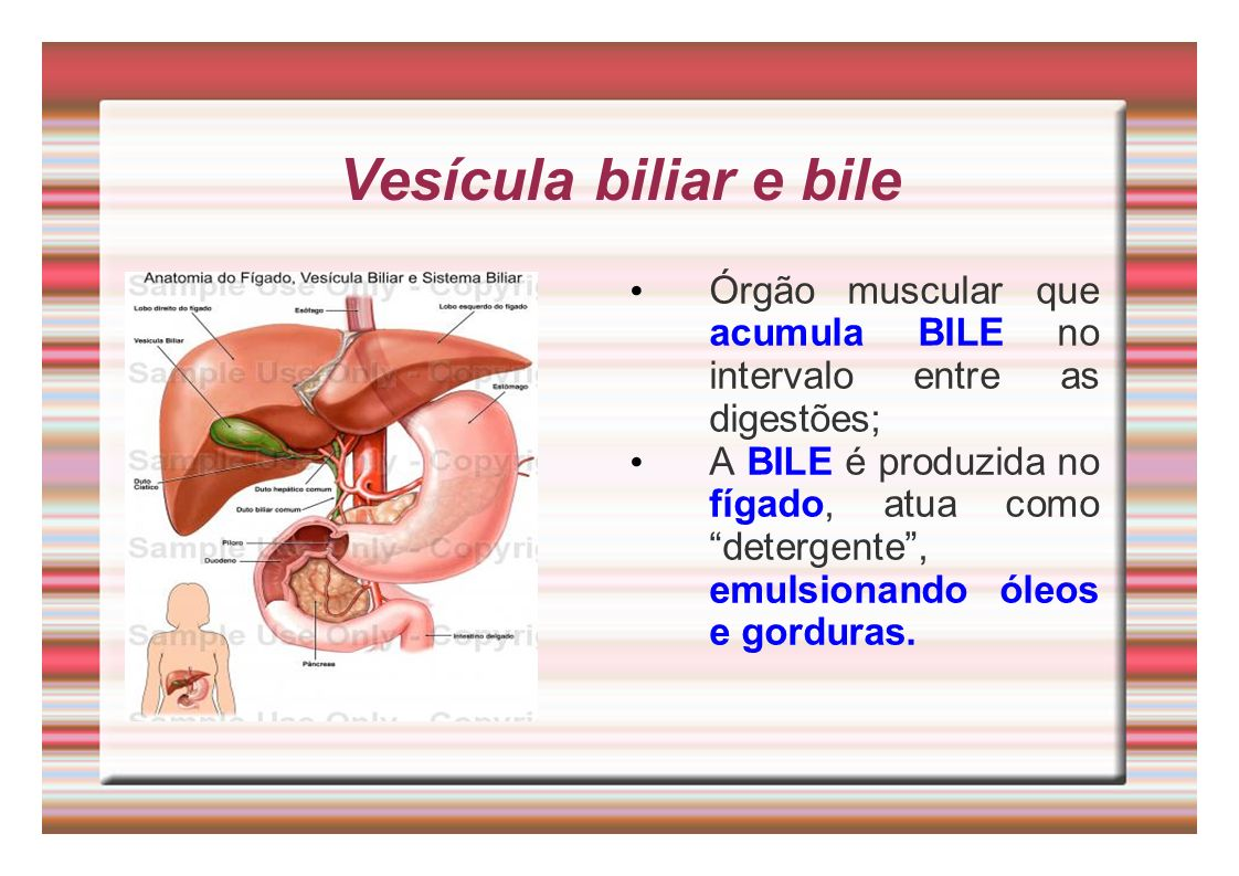 Vesícula biliar e bile Órgão muscular que acumula BILE no intervalo entre as digestões;