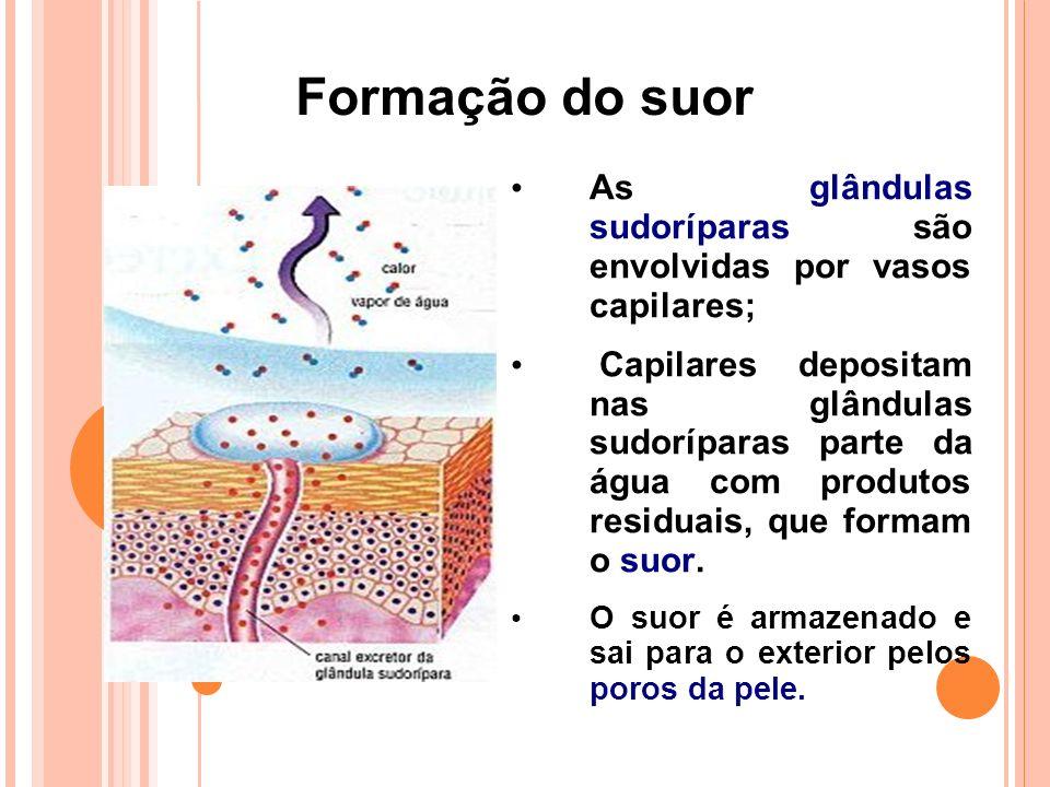 Formação do suor As glândulas sudoríparas são envolvidas por vasos capilares;
