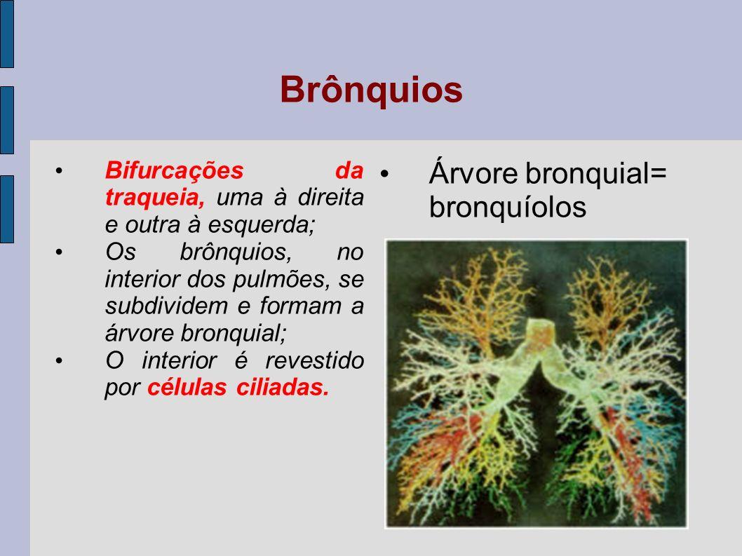 Brônquios Árvore bronquial= bronquíolos