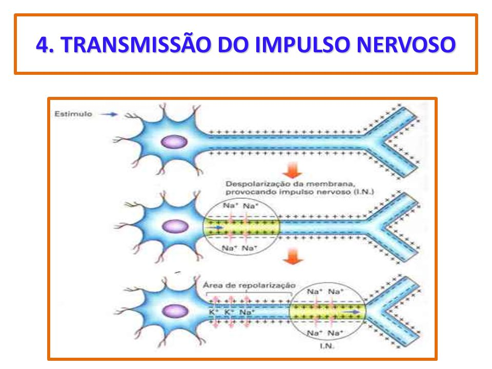 4. TRANSMISSÃO DO IMPULSO NERVOSO