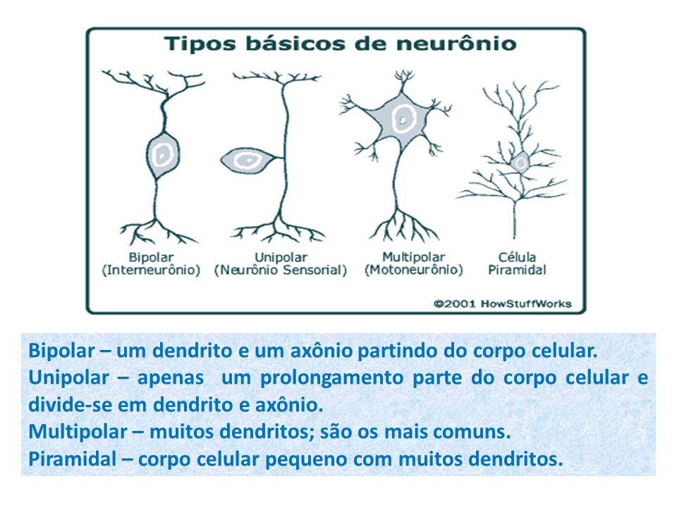Bipolar – um dendrito e um axônio partindo do corpo celular.
