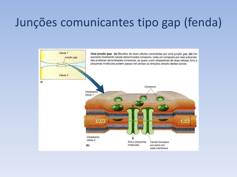 Junções comunicantes tipo gap (fenda)