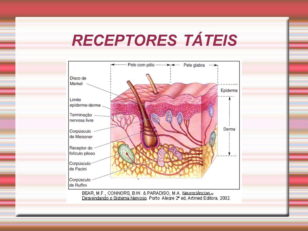 RECEPTORES TÁTEIS
