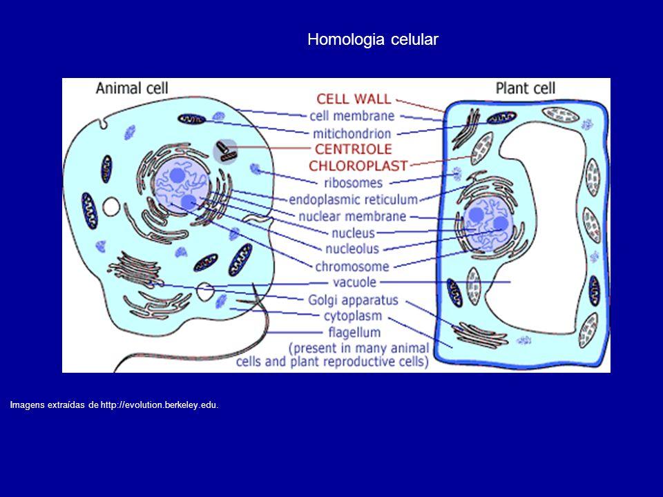 Homologia celular Imagens extraídas de http://evolution.berkeley.edu.