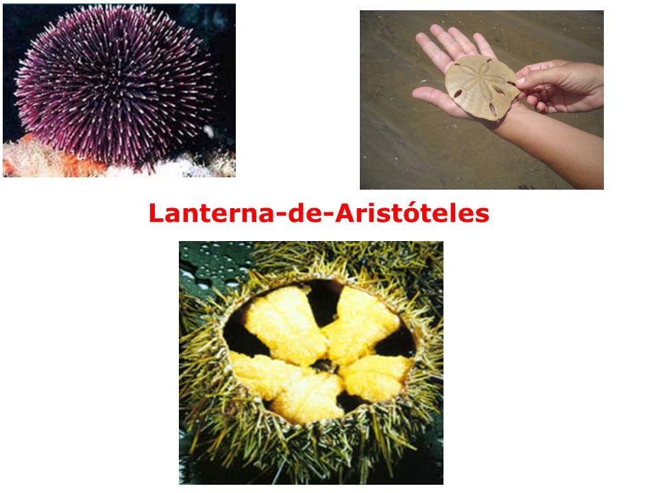 Lanterna-de-Aristóteles