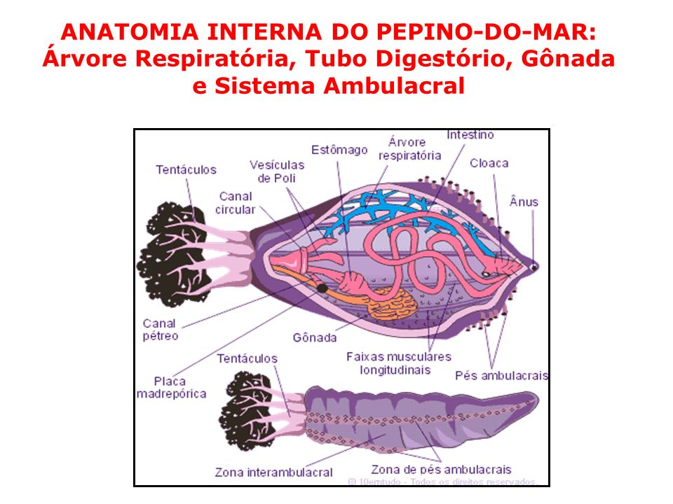 ANATOMIA INTERNA DO PEPINO-DO-MAR: