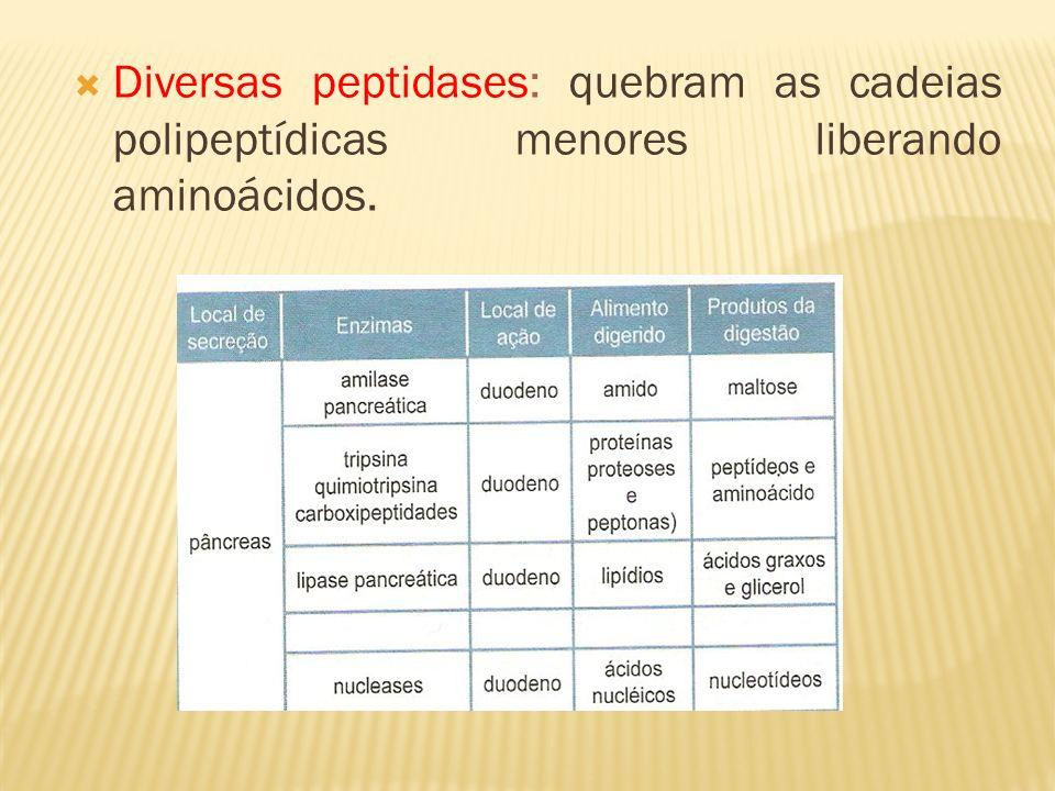 Diversas peptidases: quebram as cadeias polipeptídicas menores liberando aminoácidos.